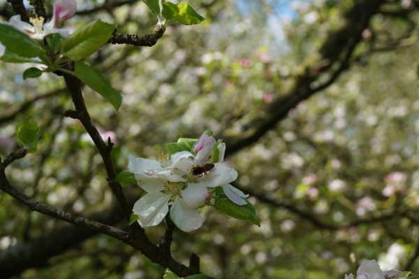 Pour obtenir des fruits, il faut des abeilles !